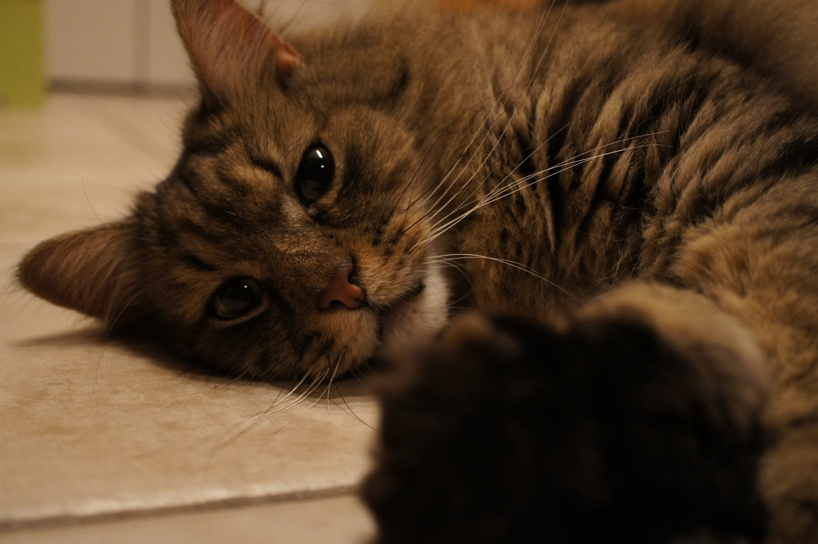 Free Pictures Of A Domestic Medium Hair Cat