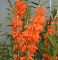 Mengenal Tanaman Hias Anggrek Dendrobium dan Cara Merawat serta Gambarnya