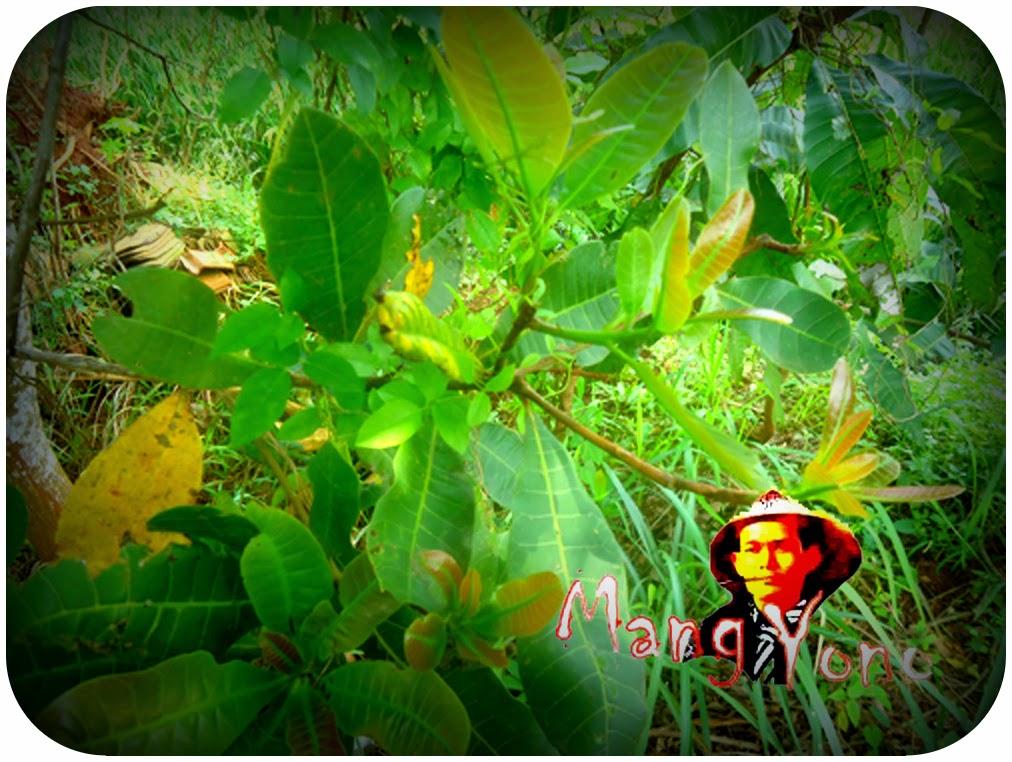 Lalapan Daun pucuk atau daun muda dari Jambu Mete