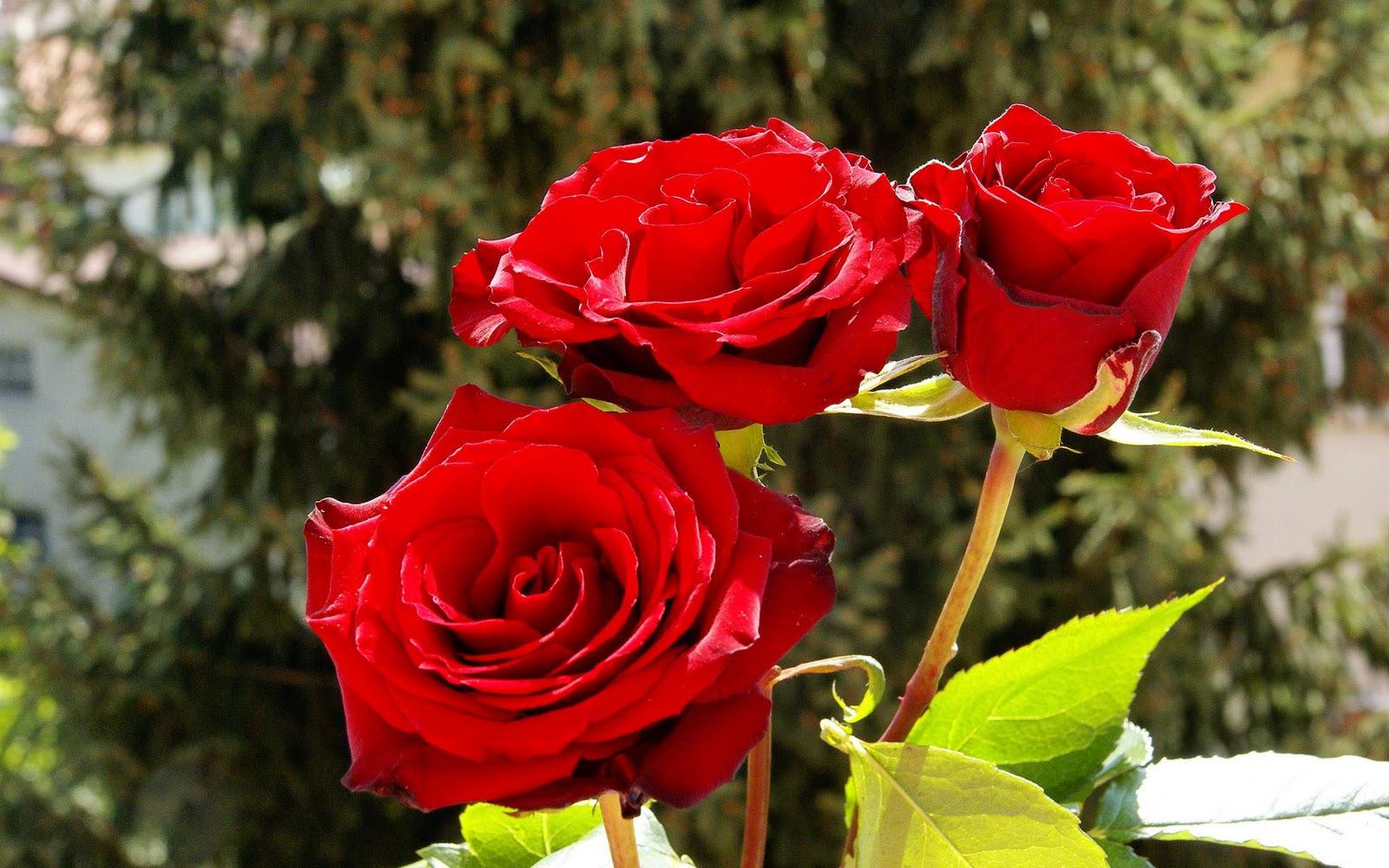 Wallpaper download karne - Wallpaper Download Karne Ke Liye 90 Wedding Red Rose Flower Wallpapers Love Roses Pictures