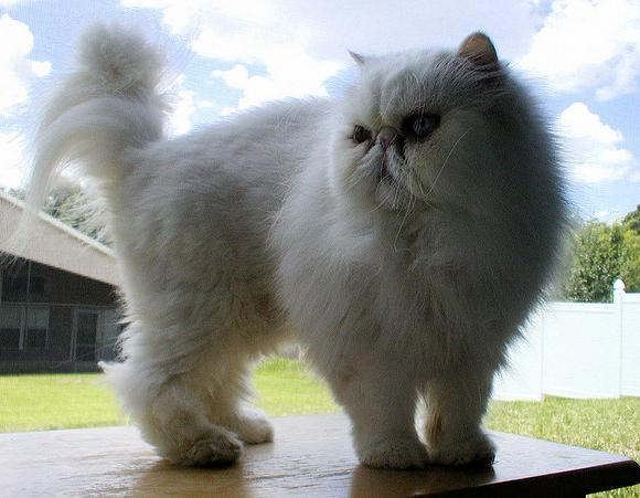 Anak Kucing Angora Foto-foto Kucing
