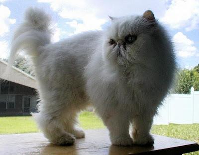 foto kucing persia putih bernama Dr. Benway