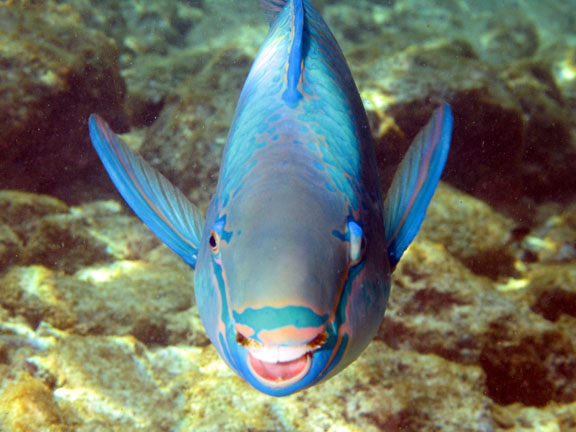 Queen Parrotfish - Fishes World - HD Images & Free Photos