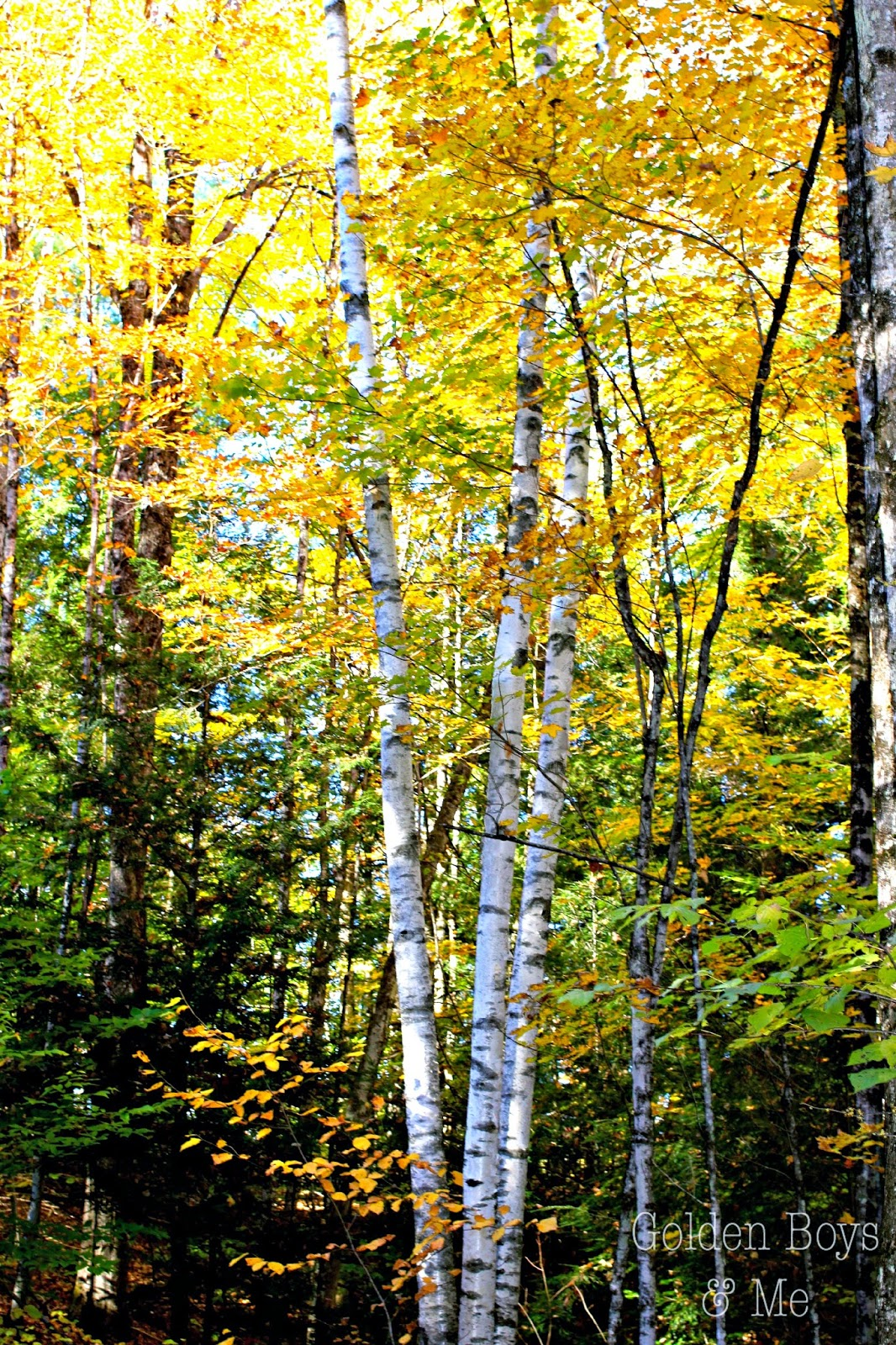 Fall foliage in the Adirondacks.  Birch tree in autumn. www.goldenboysandme.com