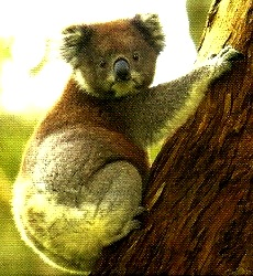 Koala trepado en el arbol