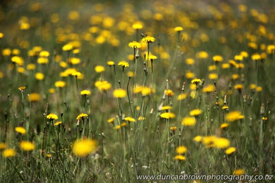 My World - Dandelions in Frederick St, Hastings photograph