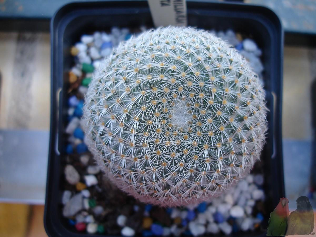 La casa de los cactus mammillaria supertexta for Donde venden cactus