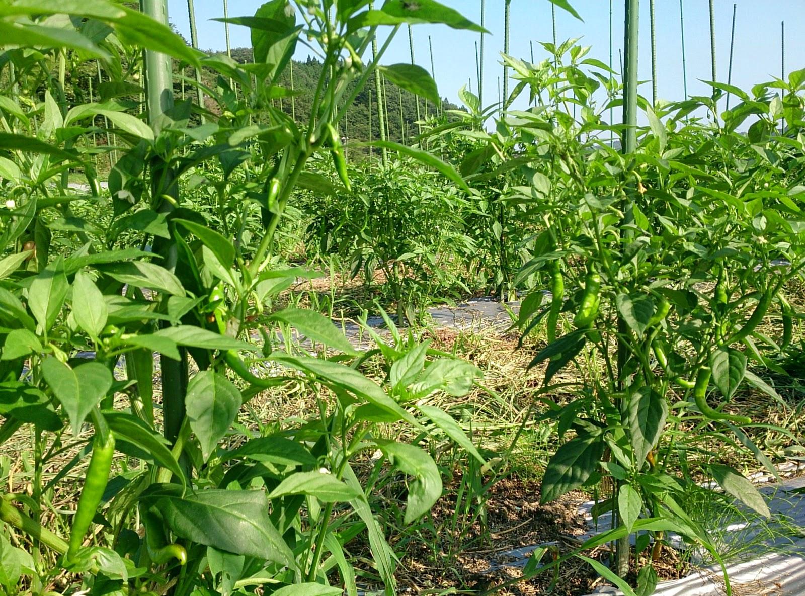 トウガラシ畑