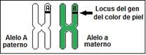 Se denomina alelo a cada uno de los dos genes localizados en el mismo lugar de un par de cromosomas homólogos, y que determinan un mismo carácter.