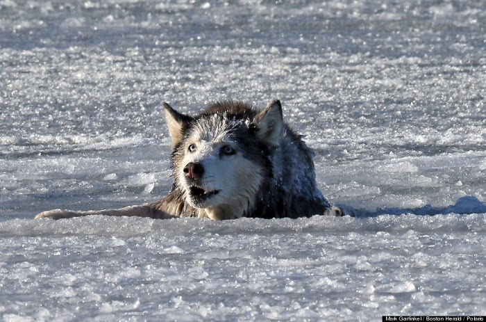 She was panicked and freezing, the older dog wouldn't last long in the freezing waters. - A Family Thought Their 13 Year Old Husky Was Doomed After Falling Through Ice… Till This Happened.
