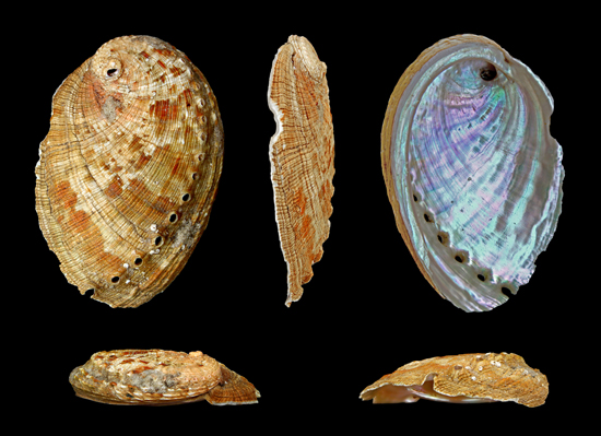 Haliotis diversicolor Reeve (Fam. Haliotid