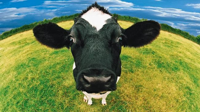 Top 5 fun facts about cows