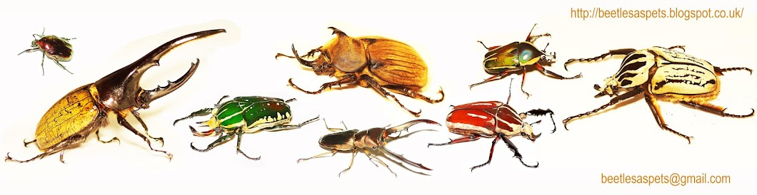 Beetles as pets