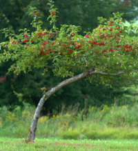 Quirt the Apple tree