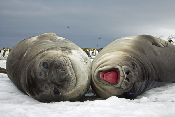 Walrus vs Elephant Seal http://eversoethnicallyconfused.blogspot.com/p/blog-page.html