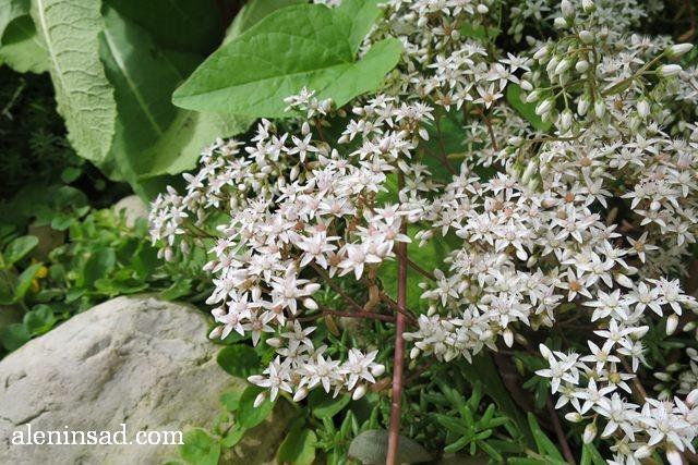очиток, Sedum, аленин сад, цветы, июль