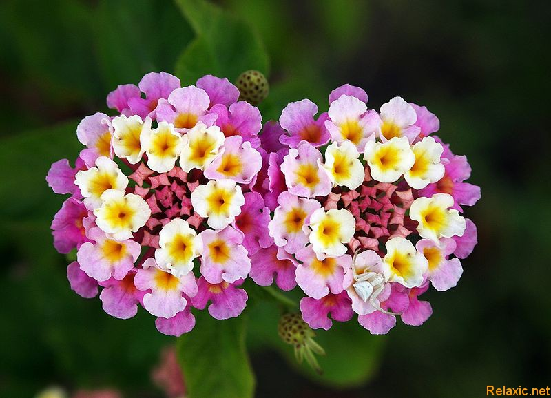 Индийские цветы
