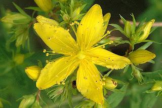 Beneficios Planta medicinal Corazoncillo