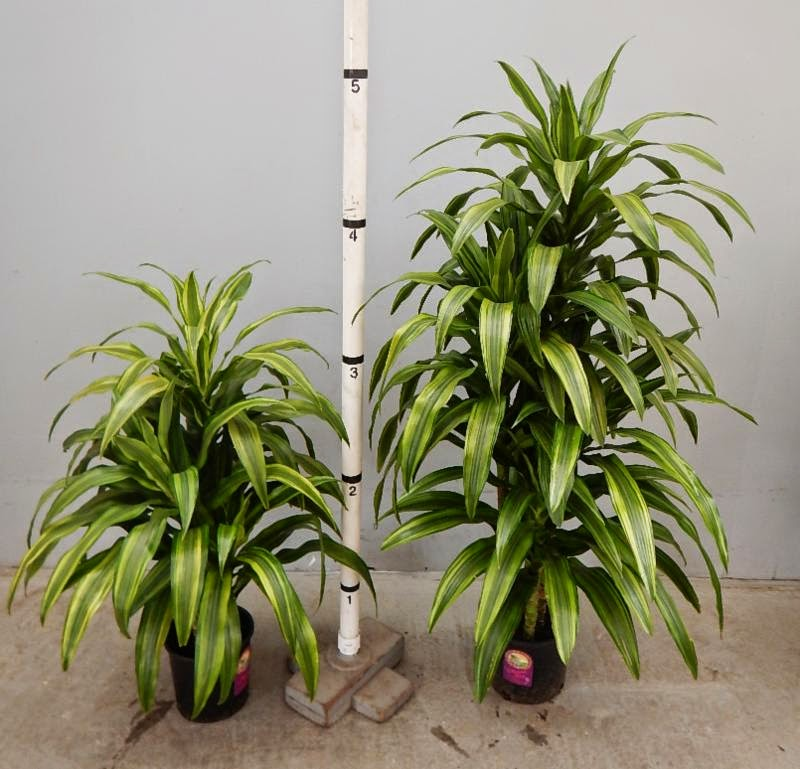 Everything grows new dracaena plant variety for indoors - Indoor plant varieties ...