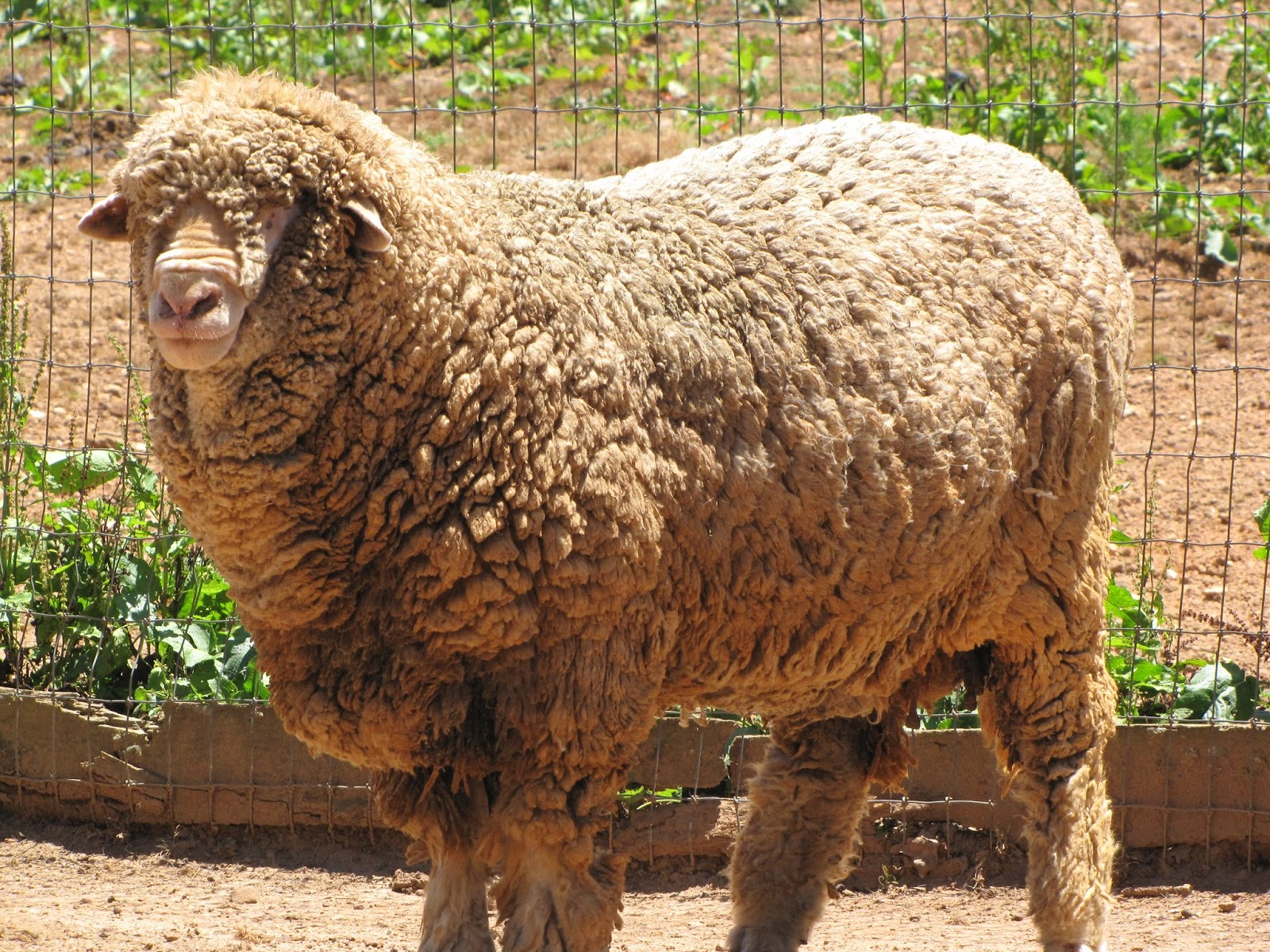 why does god call us sheep?