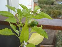 potager-carre2-progression-miaout-poivron