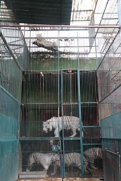 Exemplares de tigres em jaulas de zoológico que foi desmontado em Tehuacan, no México. Mais de cem animais foram resgatados por autoridades (Foto: Rodrigo David Lopez Villa/Profepa/AP)