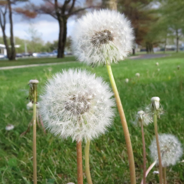 Dandelions-at-Farmingdale-State-College