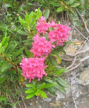 Rhododendron ferrugineum  (Rododendro ferrugineo)