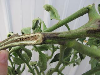 Tomato pith necrosis
