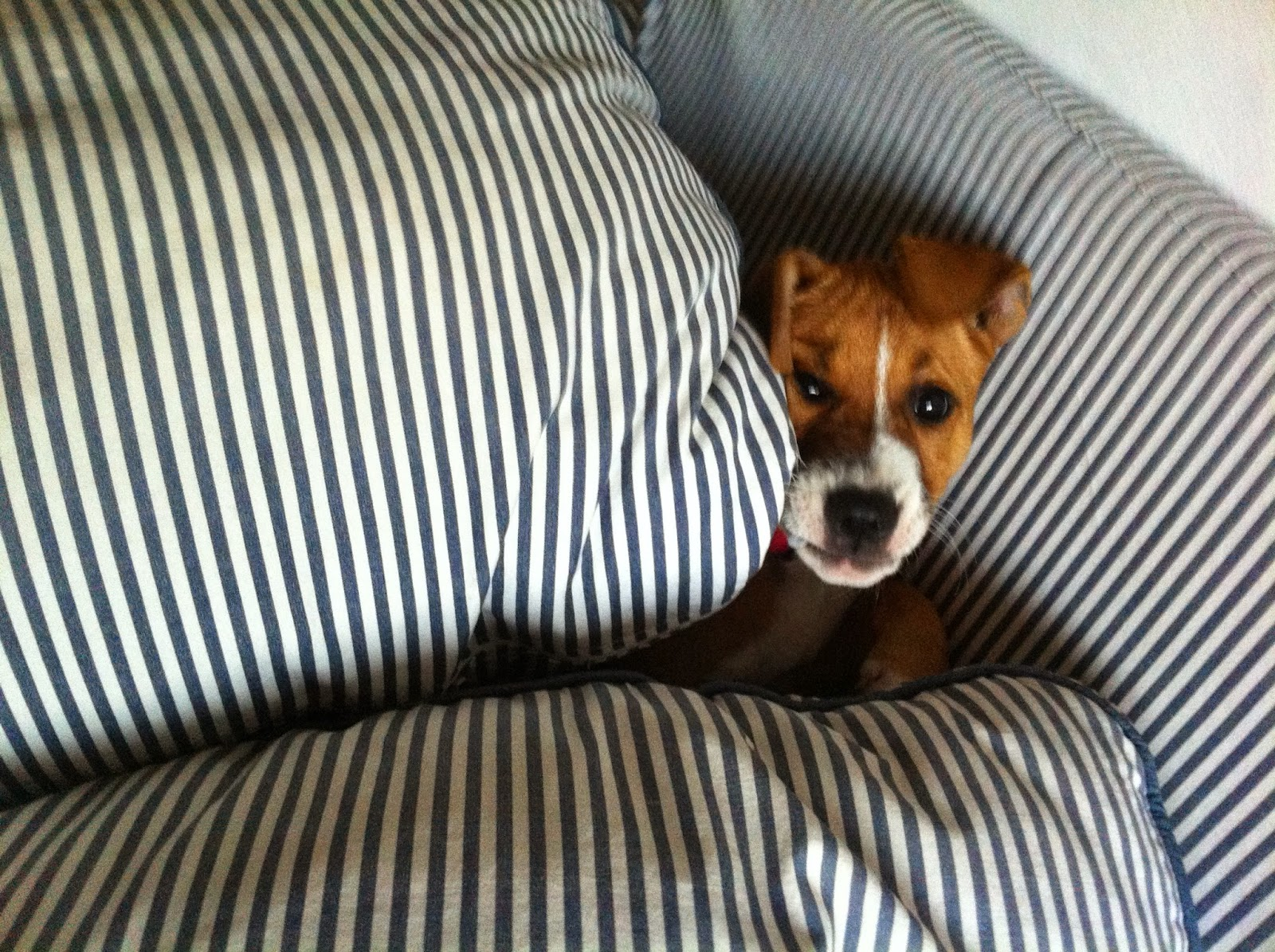 cachorro perro marron