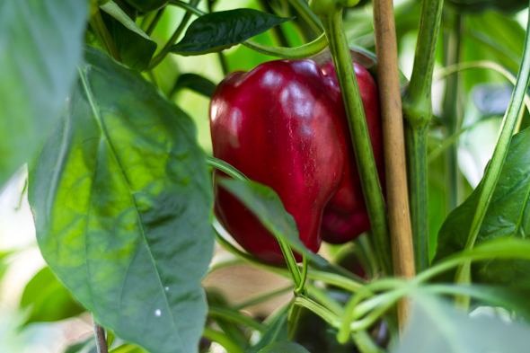 How to Use Coffee Grounds in Your Garden for peppers