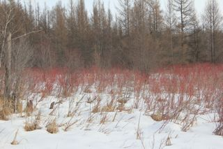 photo of red osier dogwood in the snow