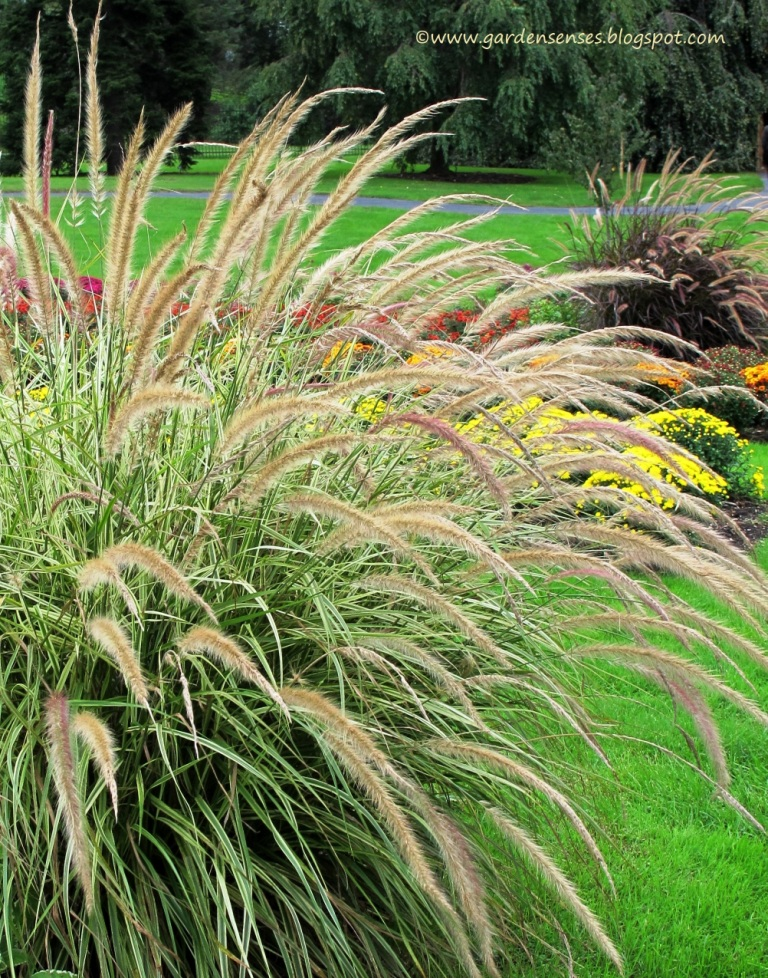 Garden sense glorious grasses at hershey gardens for Fountain grass