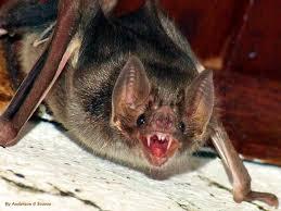 Imagens de Morcegos vampiros