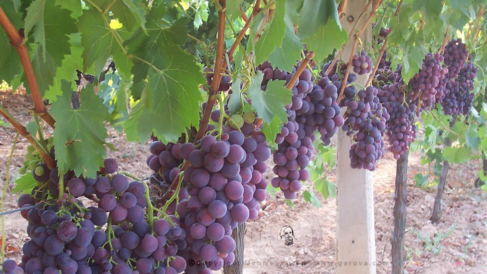 table grape Cardinal