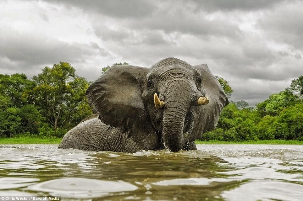 gambar binatang gajah