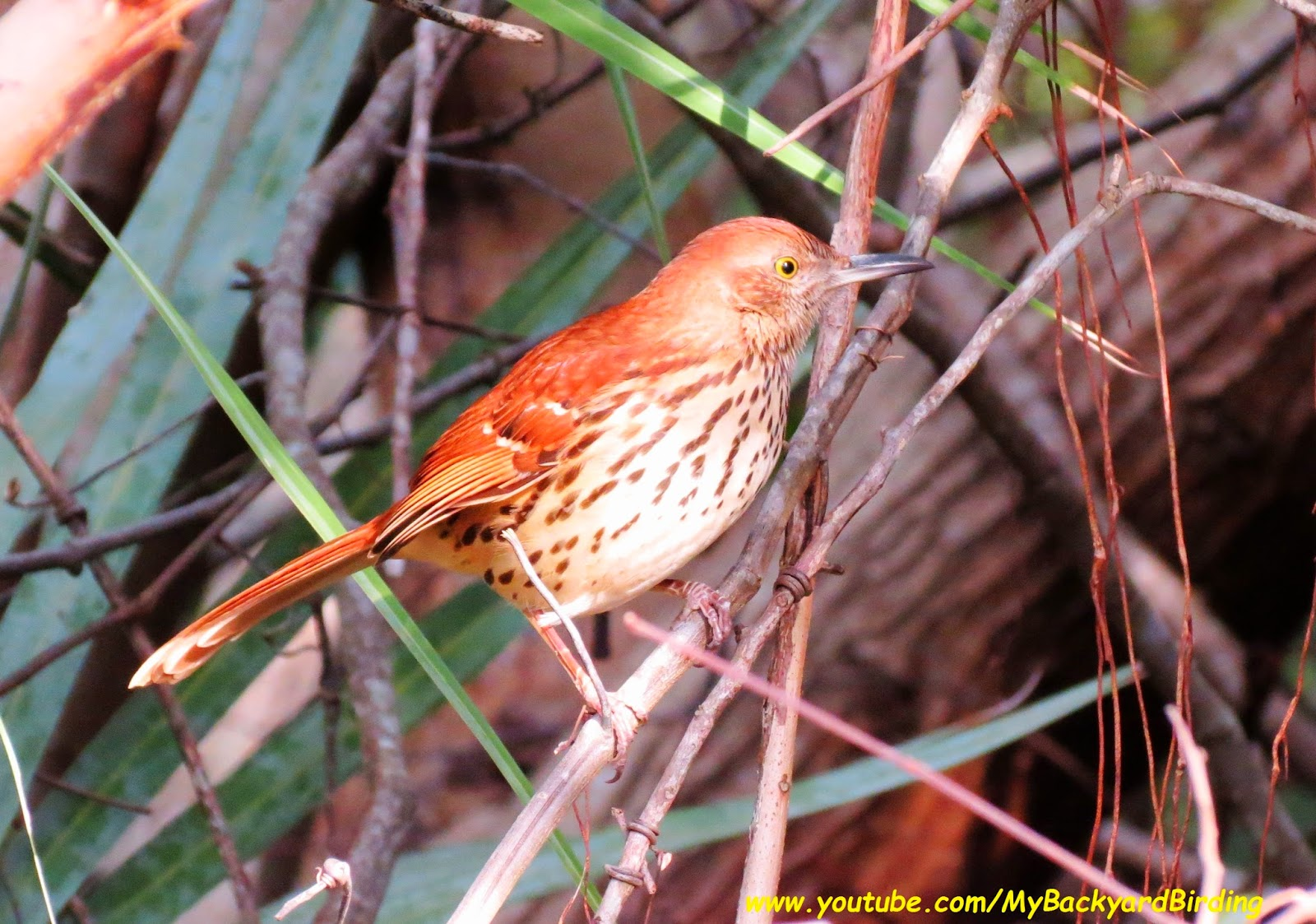 Brown Thrasher Great Backyard Bird Count