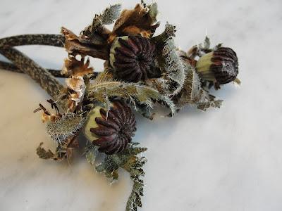 poppy flower seed pod