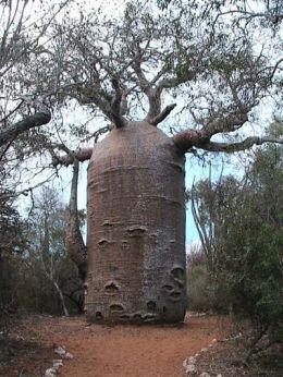 misteri pohon baobab
