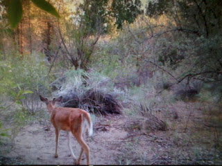 small buck on trail camera