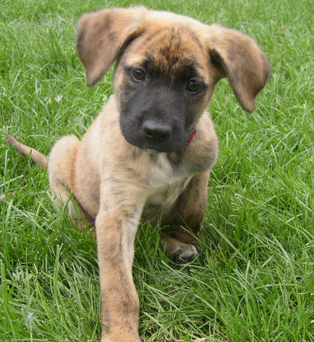 Dog German ShepherdsGerman Shepherd Boxer Mix Puppies