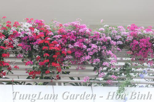 phong lữ thảo rủ, phong lữ thảo, hoa treo ban công, hoa treo, hoa ban công, hoa dừa cạn rủ, dạ yến thảo, dạ yến thảo rủ