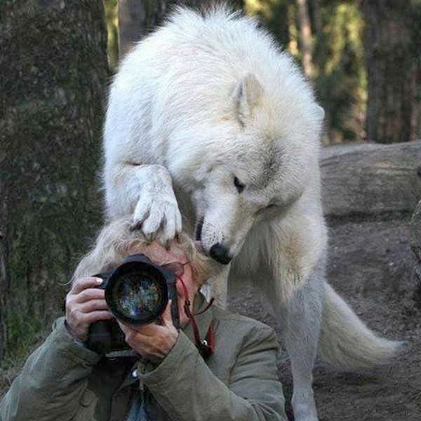 Funny animals of the week - 17 January 2014 (40 pics), wolf and photographer