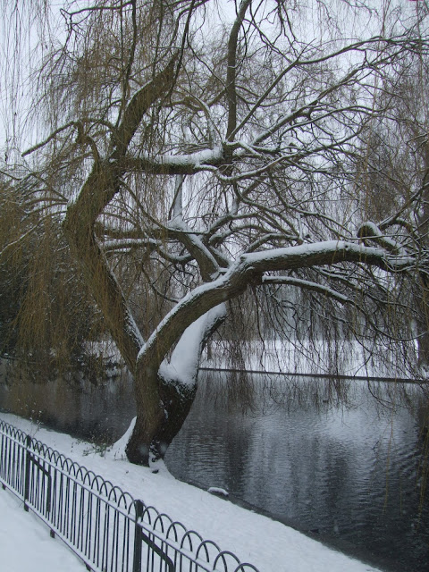 Weeping Willow Salix babylonica, in Wardown Park, Luton