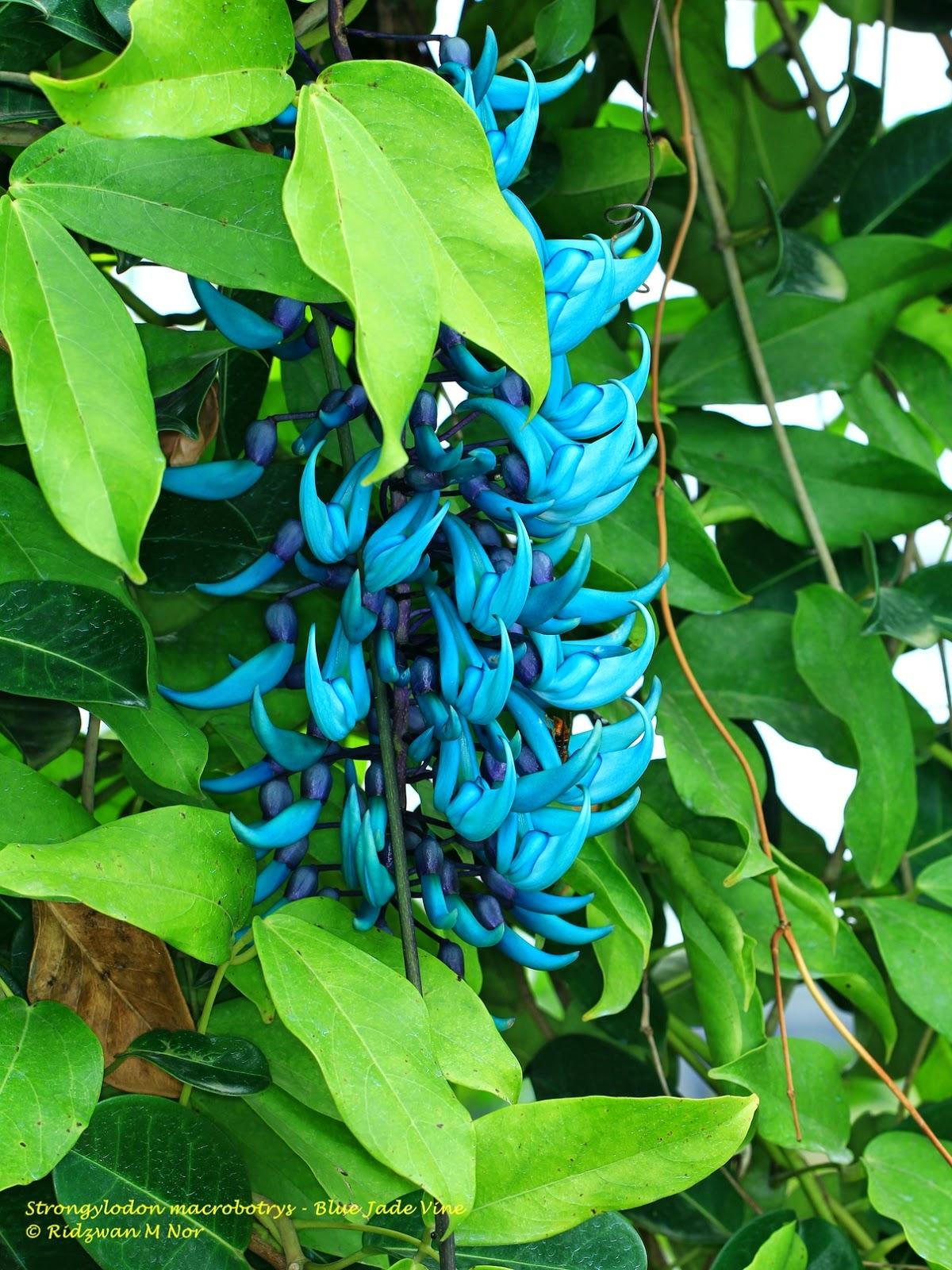 Strongylodon macrobotrys blue jade vine flowers around us by strongylodon macrobotrys blue jade vine izmirmasajfo Images