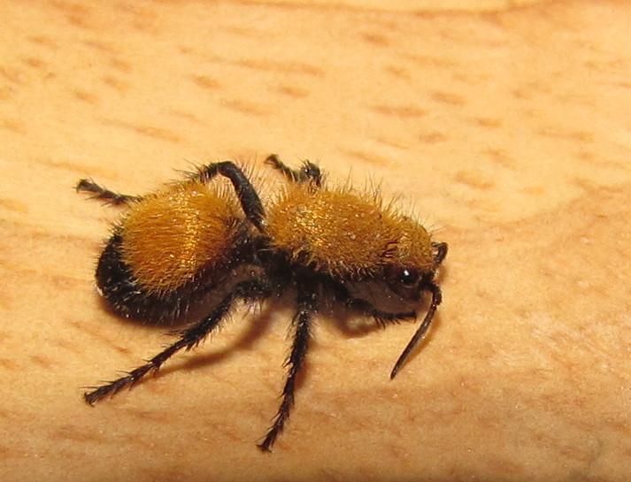 wasp discover a velvet ant Yellow Velvet Ant