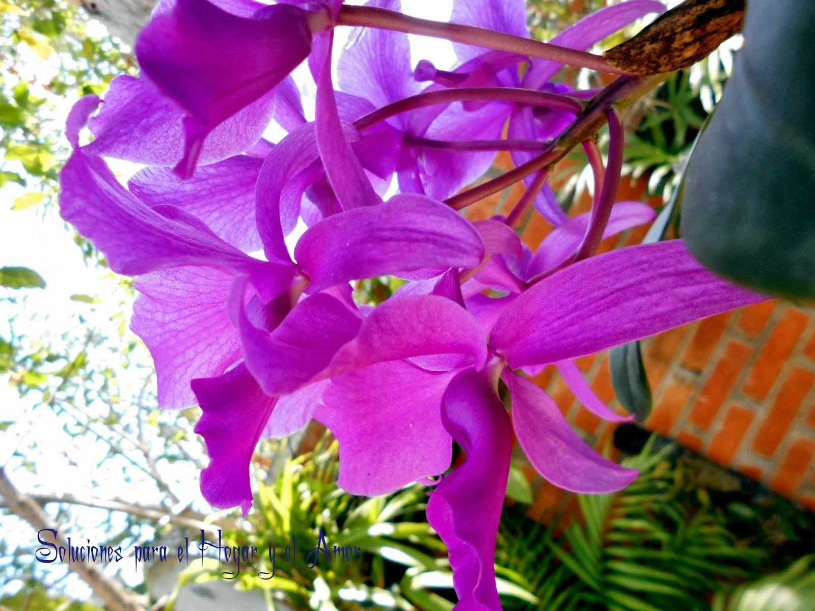 Cattleya skinneri Poema Cuanto sabe la Flor