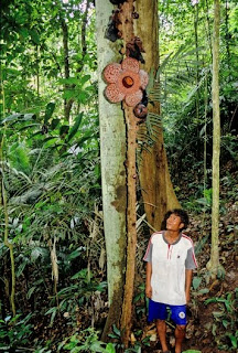 The Amazing Rafflesia Cantleyi Flower