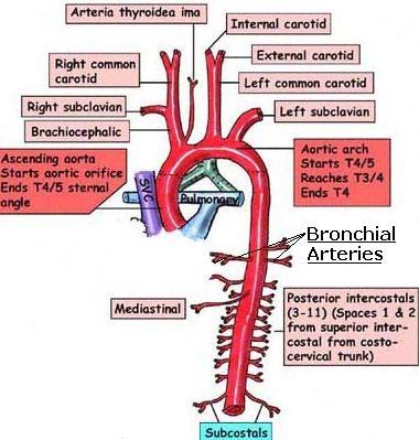 bronchial arteries