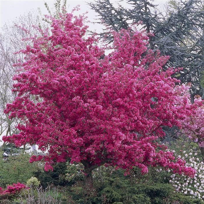 il giardino delle naiadi melo da fiore un 39 attrattiva per ogni stagione. Black Bedroom Furniture Sets. Home Design Ideas